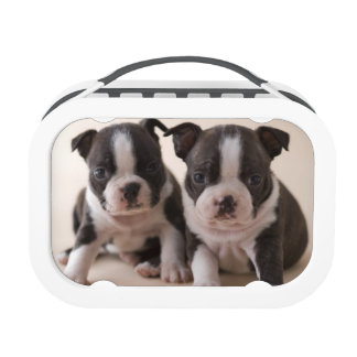 Two Boston Terrier Puppies Lunch Box