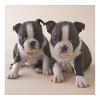 Two Boston Terrier Puppies Panel Wall Art