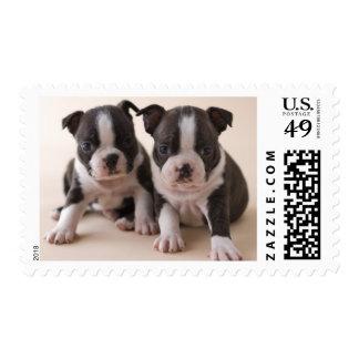 Two Boston Terrier Puppies Postage