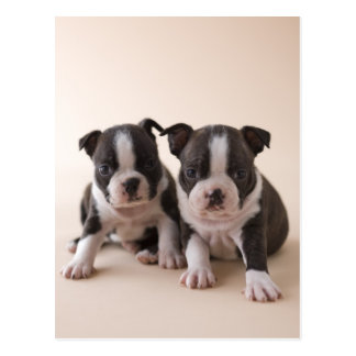 Two Boston Terrier Puppies Postcard