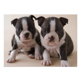 Two Boston Terrier Puppies Poster