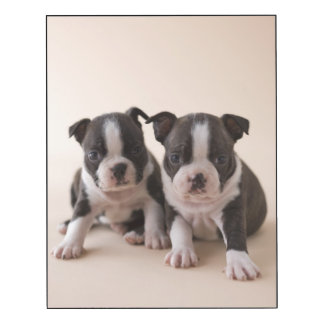 Two Boston Terrier Puppies Wood Wall Art