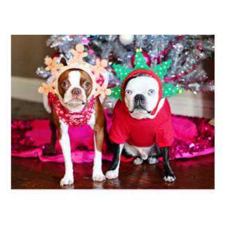 Two BostonTerriers Postcard