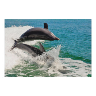 Two Bottlenose Dolphins Jumping Together Poster