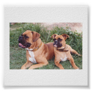 Two_boxer_dogs_.png Poster