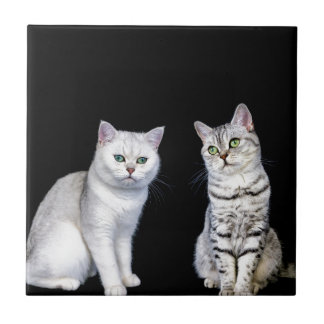 Two british short hair cats on black background tile