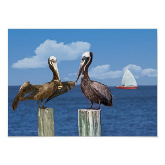Two Brown Pelican Poster or Print