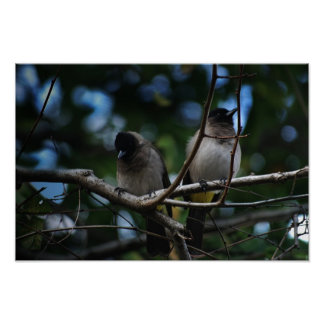 Two bulbul birds sharing a branch poster