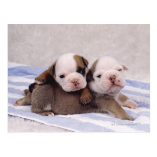 Two bulldog puppies on towel postcard