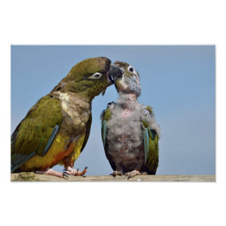 Two Burrowing Parrots Poster