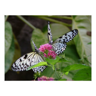 Two Butterflies on Flower Photography Posters