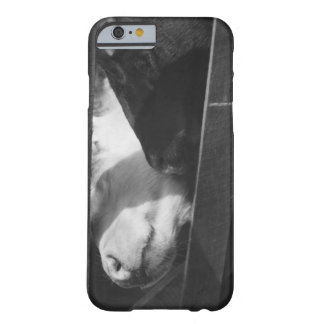 Two calves poking their noses through the gap in iPhone 6 case