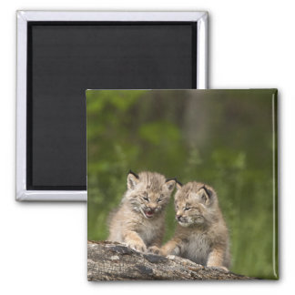 Two Canada Lynx Kittens Playing On A Log Magnet