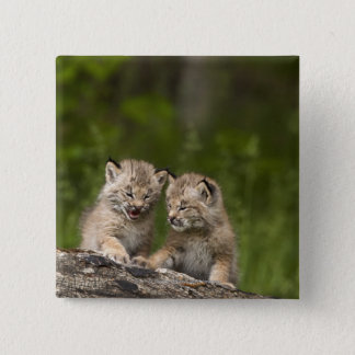 Two Canada Lynx Kittens Playing On A Log Pinback Button