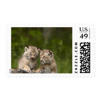 Two Canada Lynx Kittens Playing On A Log Postage