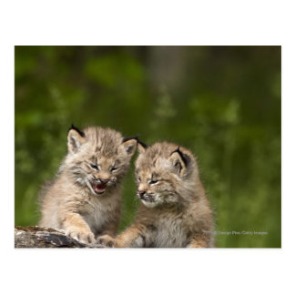 Two Canada Lynx Kittens Playing On A Log Postcard