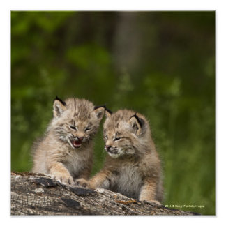 Two Canada Lynx Kittens Playing On A Log Posters