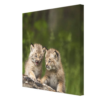 Two Canada Lynx (Lynx Canadensis) Kittens Gallery Wrapped Canvas