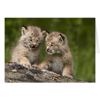 Two Canada Lynx (Lynx Canadensis) Kittens Card