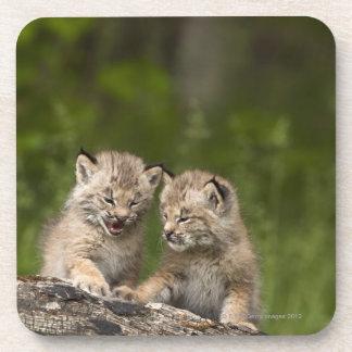 Two Canada Lynx (Lynx Canadensis) Kittens Coaster