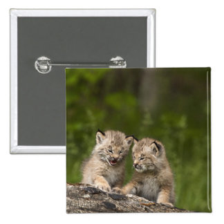 Two Canada Lynx (Lynx Canadensis) Kittens Pinback Button