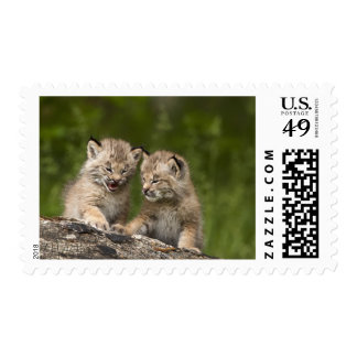 Two Canada Lynx (Lynx Canadensis) Kittens Postage