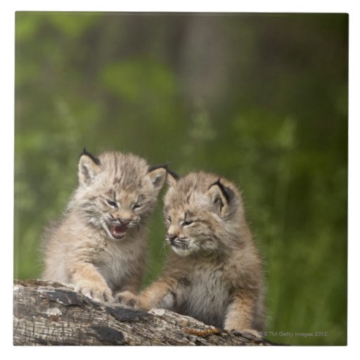 Two Canada Lynx (Lynx Canadensis) Kittens Tile