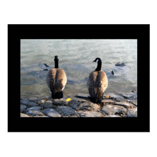Two Canadian Geese Postcard