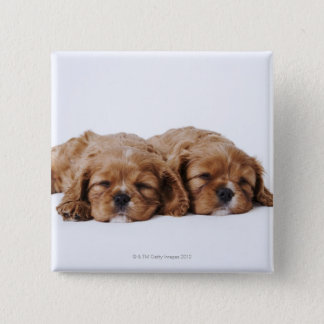 Two Cavalier King Charles Spaniel puppies Button