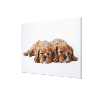 Two Cavalier King Charles Spaniel puppies Canvas Print
