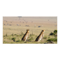 Two cheetahs on the look out card