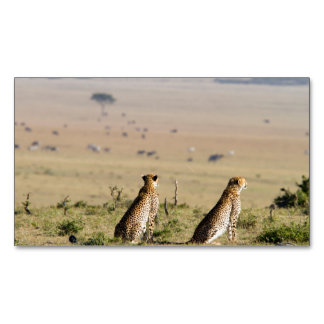 Two cheetahs on the look out magnetic business card