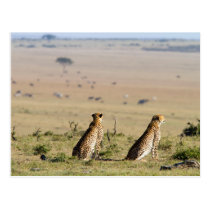 Two cheetahs on the look out postcard