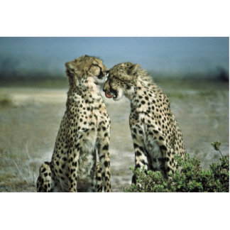 Two cheetahs sitting face to face cutout