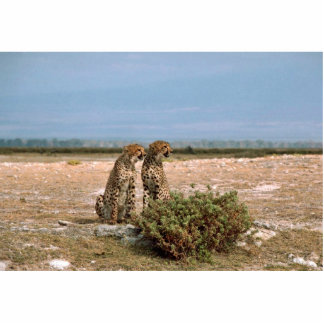 Two cheetahs sitting photo sculpture