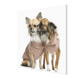 Two Chihuahuas dressed (2 years old) Canvas Print