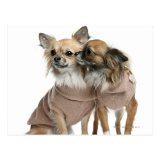 Two Chihuahuas dressed (2 years old) Postcards