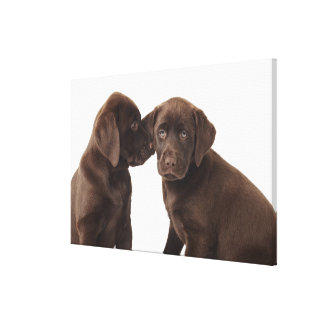 Two chocolate Labrador Retriever Puppies 2 Canvas Print
