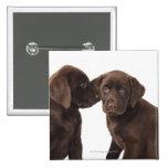Two chocolate Labrador Retriever Puppies 2 Inch Square Button