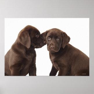 Two chocolate Labrador Retriever Puppies 2 Poster