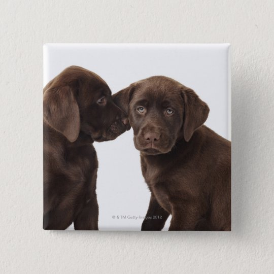 Two chocolate Labrador Retriever Puppies Button