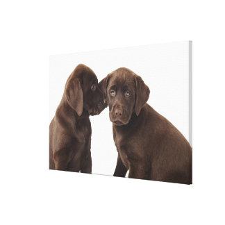 Two chocolate Labrador Retriever Puppies Canvas Print