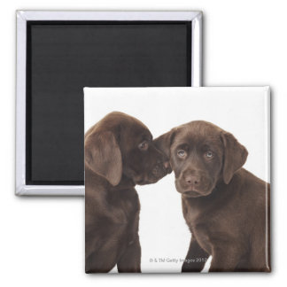 Two chocolate Labrador Retriever Puppies 2 Inch Square Magnet