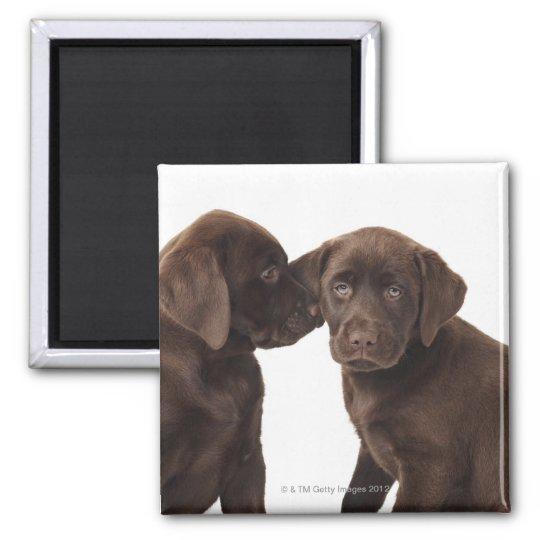 Two chocolate Labrador Retriever Puppies Magnet