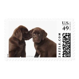 Two chocolate Labrador Retriever Puppies Postage Stamp