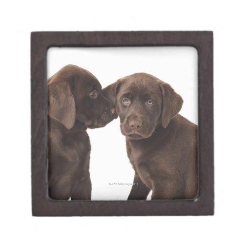 Two chocolate Labrador Retriever Puppies Premium Jewelry Box