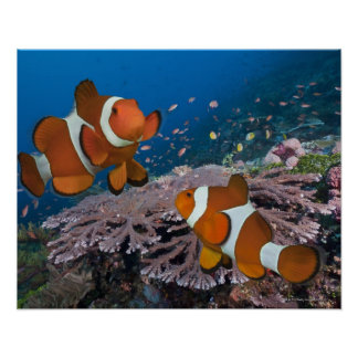Two Clownfish Posters