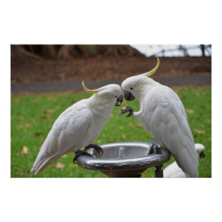 Two Cockatoos Sweet Moments Poster