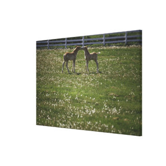 Two colts in field canvas print