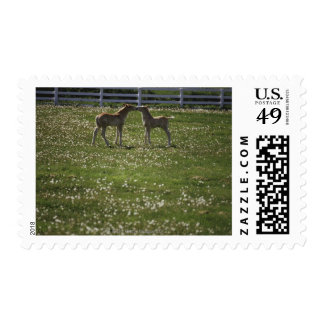 Two colts in field postage